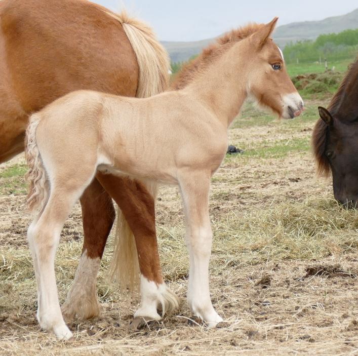 Stallion after Fruma and Konsert frá Hofi